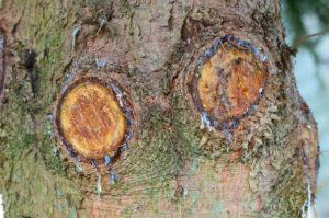 plaies-taille-conifere-resine