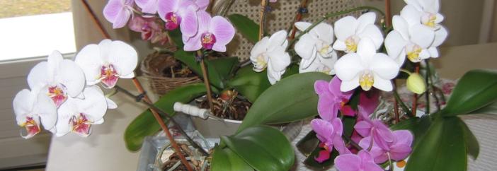 comment entretenir les orchid es immorapide. Black Bedroom Furniture Sets. Home Design Ideas
